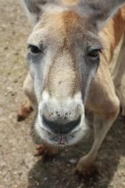 70 best refs animals kangaroos u0026 wallabies images on pinterest