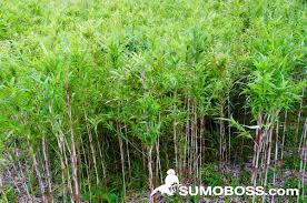bamboo shoots sumoboss