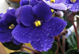 Tropical Rainforest Plant List - african violet plants how to grow violet care african violet vood