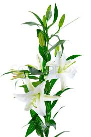 White Lily Flower Beautiful White Lily Flowers Isolated On White Background Stock