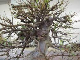 defoliating tea bonsai page 3