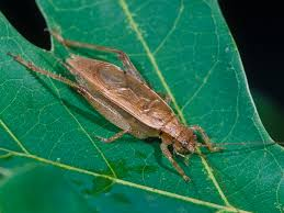 Jumping Light Jumping Bush Cricket Songs Of Insects