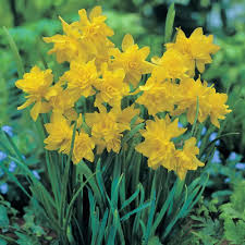 buy white daffodil bulbs mount hood 5kg bulbs or buy in bulk