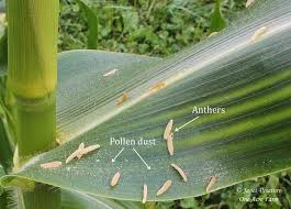 growing corn in small spaces 6 tips