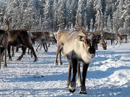proposed arctic railway would cut through lapland reindeer habitat