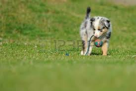 skiing with australian shepherd aussie dog stock photos royalty free aussie dog images and pictures