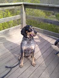 bluetick coonhound fun facts 319 best bluetick coonhound images on pinterest bluetick