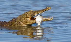 nile crocodile mpalalive