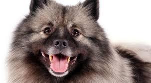american eskimo dog small keeshond dog breed information american kennel club