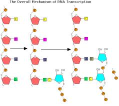 transcription elongation