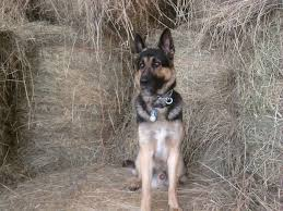 belgian sheepdog michigan german shepherd kennel purebred german shepherd puppies for sale