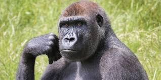 gorillas in uk gorilla colony longleat