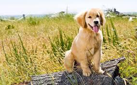 golden retriever puppy wallpaper 1173 1920 x 1200 wallpaperlayer com