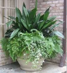 Tropical Potted Plants Outdoor - ivy ferns and other tropical plants in a tall white stone pot