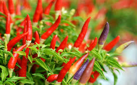how to grow your own chilli plants on a kitchen windowsill