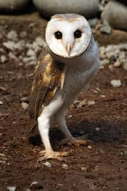 Where Does The Barn Owl Live Barn Owl New Zealand Birds Online