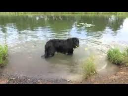 belgian sheepdog nationals belgian sheepdog in the water youtube