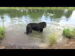 belgian sheepdog available belgian sheepdog in the water youtube