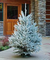dutchman tree farms 3 4 tabletop snow tip black spruce tree