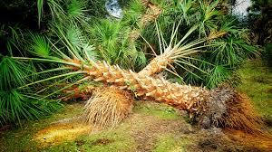 sabal palm trees for sale north u0026 south carolina palm tree depot
