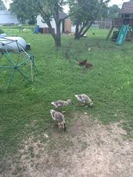 at what age can ducks and geese free range backyard chickens