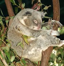 koala friends free september holidays koala program