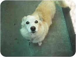 american eskimo dog short hair lomita ca american eskimo dog meet tigger a dog for adoption