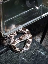 juvenile eastern rat snake backyard wildlife oakton va
