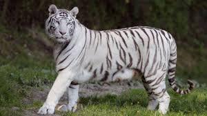 white tiger escapes el salvador zoo after killing its keeper