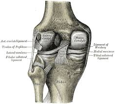 Lateral Collateral Ligament Ankle Fibular Collateral Ligament Wikipedia