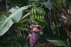 native plants madagascar species profile banana musa acuminata rainforest alliance