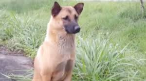 belgian shepherd killed dog who came back to the same spot for a year awaiting owners is