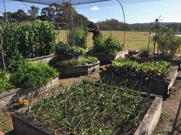 chicken manure vegetable garden veges galore what is the secret to an abundant garden