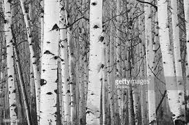 white tree birch tree stock photos and pictures getty images