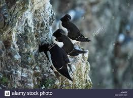 narrow picture ledge close up of 3 adult razorbills sitting on shallow narrow ledge set