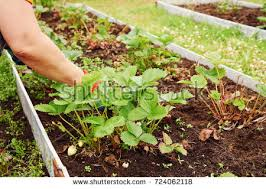 Strawberry Garden Beds Farmer Hand Giving Chemical Fertilizer Young Stock Photo 242867707