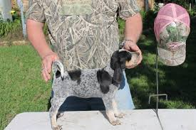 videos of bluetick coonhounds view ad bluetick coonhound puppy for sale texas college station