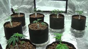 appollo 5x5 grow tent new clones gorilla glue 4 sunset sherbet