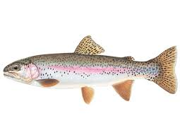 rainbow trout mdc discover nature