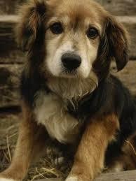 australian shepherd x golden retriever 70 best puppies images on pinterest animals puppies and dog