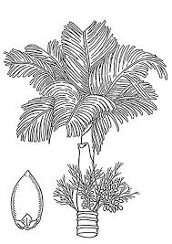nut coloring page coloring page palm areca palm and areca nut img 18930