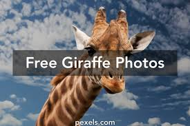 giraffe pictures pexels free stock photos