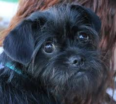 affenpinscher long hair affenpinscher breed information pictures and puppies