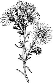 aster tattoo drawing tattoo design