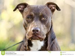 american pit bull terrier website chocolate american pitbull terrier dog walton county animal