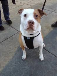 american pitbull terrier akc akc terrier group breeds u0026 mixes