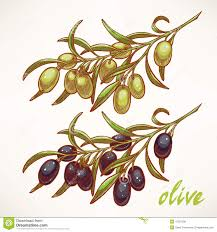 two olive tree branches stock vector illustration of branch 47301290