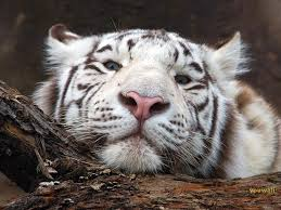 181 best tigers curse images on pinterest book fandoms books