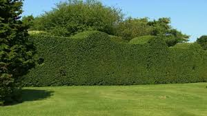 landscaping with privet hedge plants wearefound home design