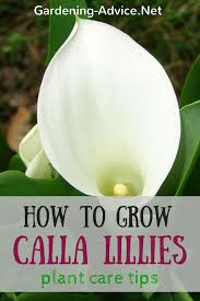 Calla Flower Calla Lily Plant Care Tips How To Grow Arum Lily Bulbs